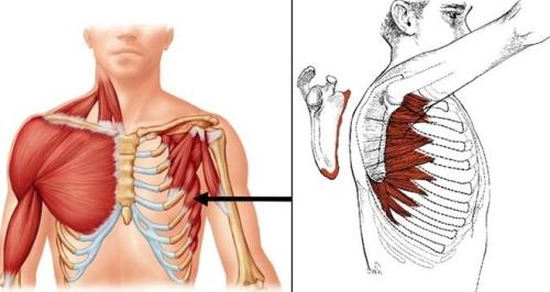 Serratus anterior lihaksen anatomiakuva, jossa lihaksen sijainti havannollistetaan edestä ja sivusta. Lihas kiinnittyy kylkiluihin ja lapaluun sisäreunaan.